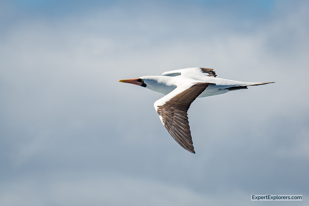 Nazca Booby in flight, Isla Espanola, Galapagos Islands