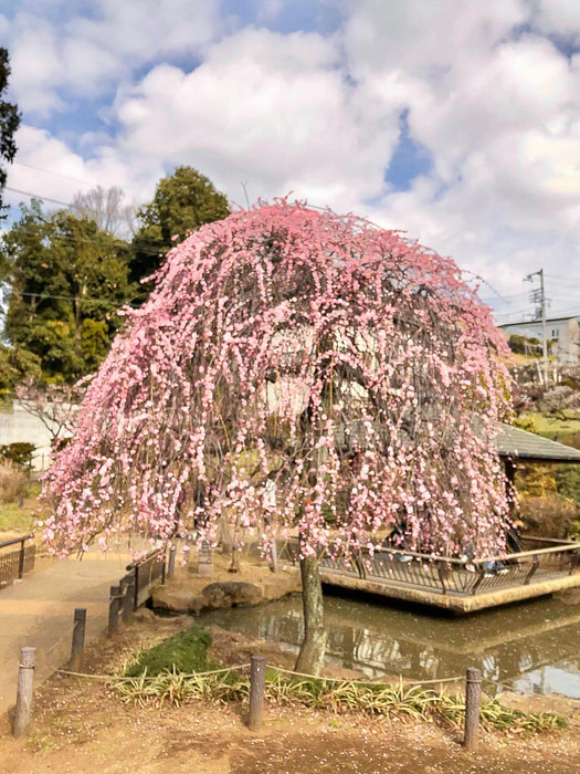 Bright pink flowers of the Plum blossom in Okurayama Parka in Yokohama, Japan