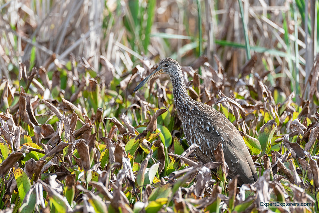 Limpkin walking through the reeds in Sweetwater Wetlands