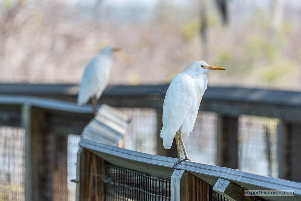 Pair of Egrets standing on the boardwalk at Paynes Prairie