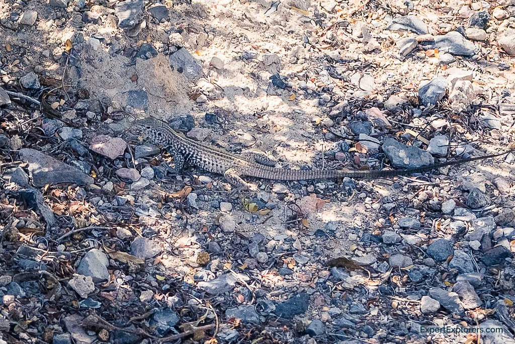 Side blotched lizard spotted in Ash Meadows National Wildlife Refuge in Nevada