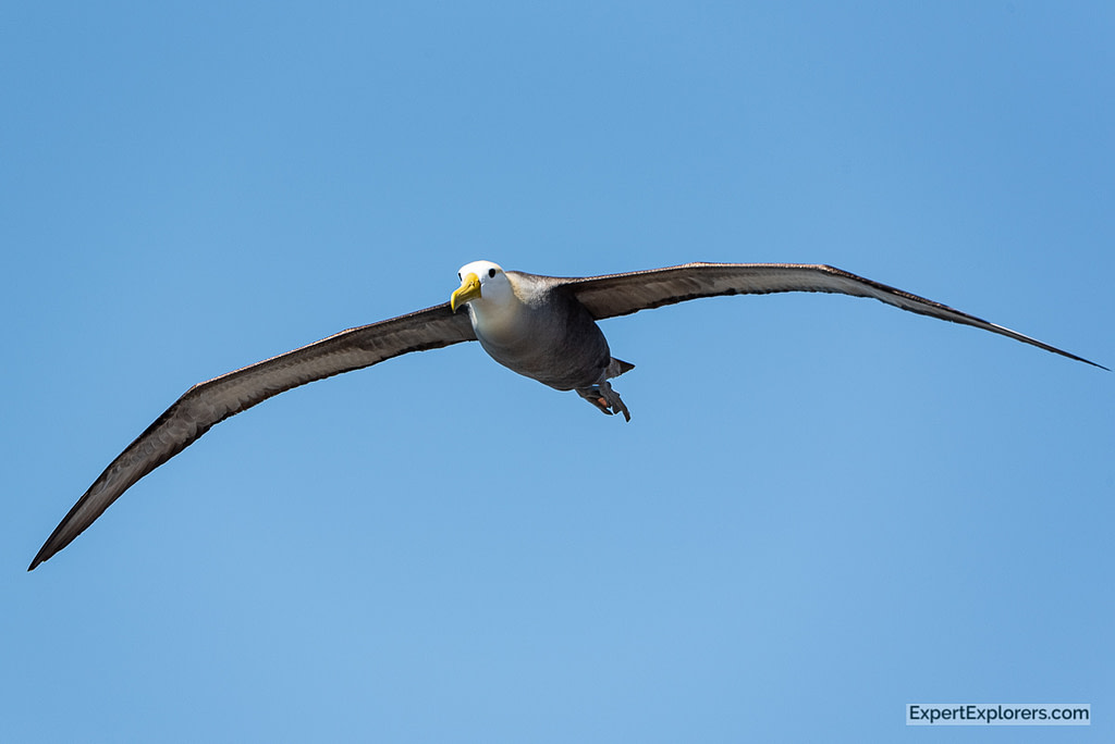 Waved Albatross in flight, Galapagos Islands