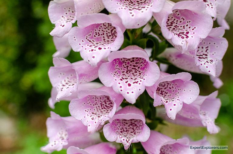 Pink Fox glove flowers Exquisite Miniatures exhibit at Brookgreen Gardens in Murrells Inlet