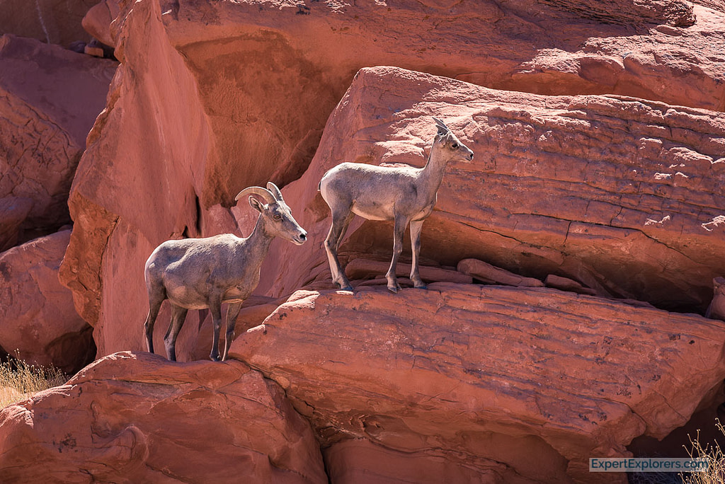 Bighorn Sheep Ewe and baby, Valley of Fire State Park Nevada