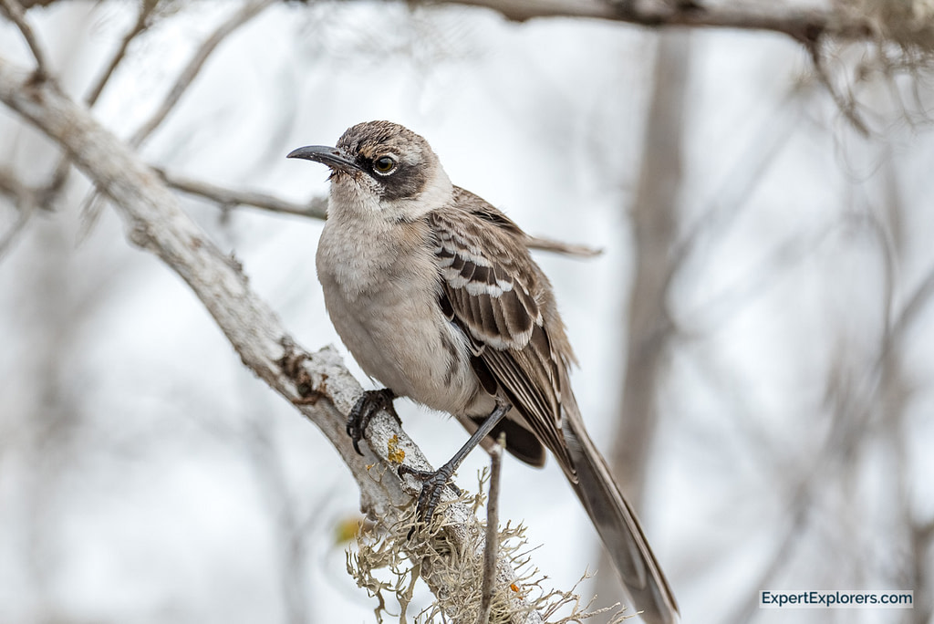 Galapagos Mockingbird perched on a branch, Santa Fe Island