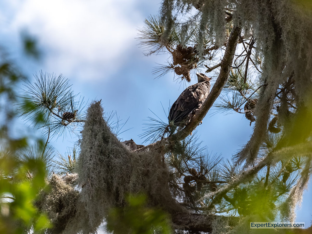 Pair of baby Bald Eagles at Paynes Prairie Florida
