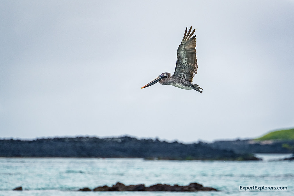 Pelican in flight, Isla Isabela, Galapagos Islands