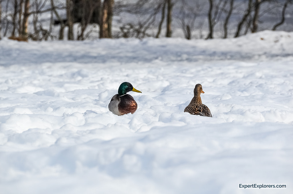 A rare sight of ducks in snow in Glenmore Forest Park, Cairngorms, Scotland