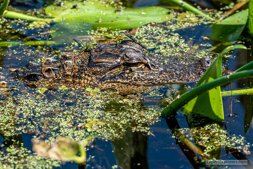 Baby Gator lounging in the water at Paynes Prairie