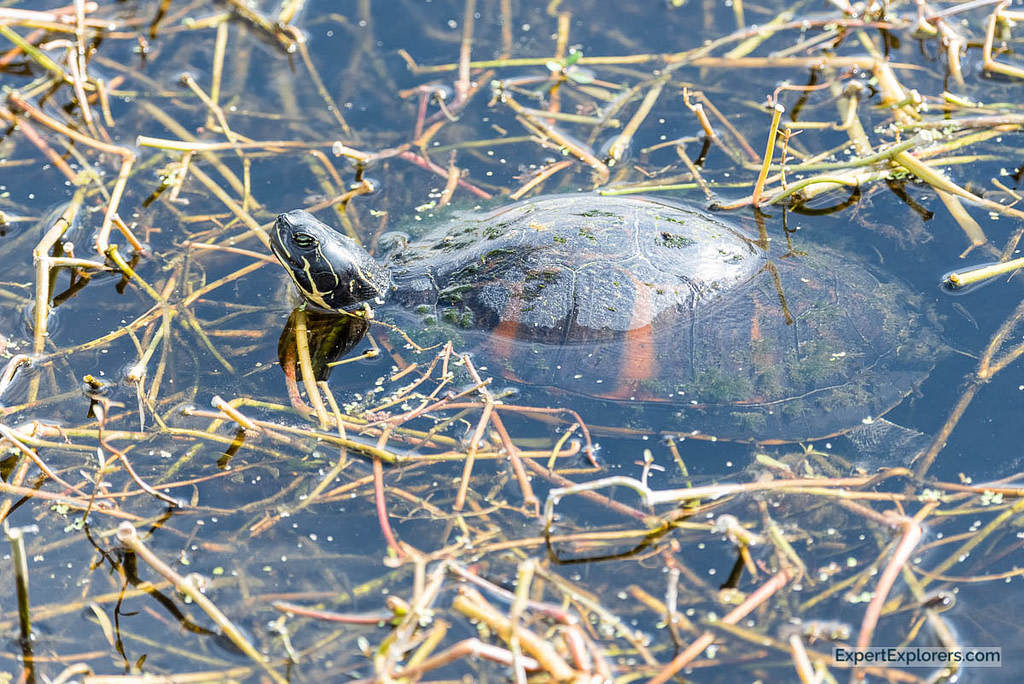 Turtle in the water at Paynes Prairie