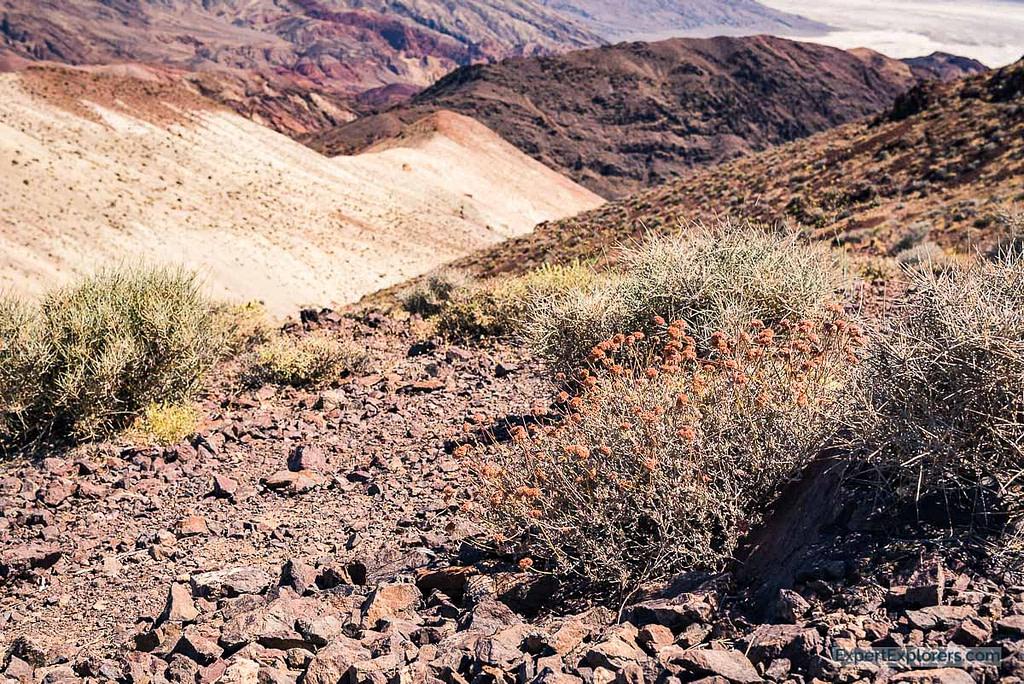 Desert Flowers, Death Valley National Park