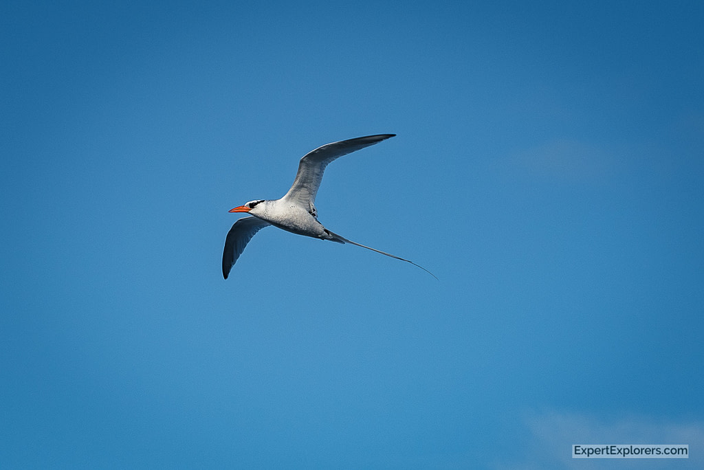 Red Billed Tropic Bird, Isla Espanola, Galapagos Islands