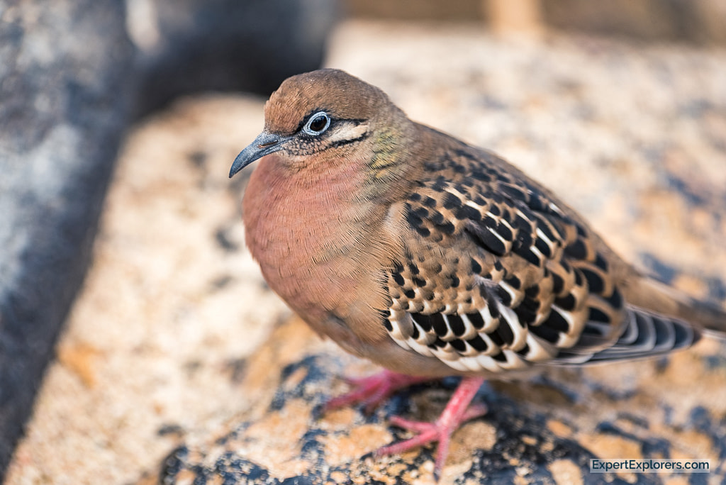 Close up of a Galapagos Dove