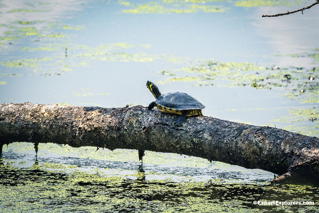 Turtle enjoying the sun at Pee Dee National Wildlife Refuge, North Carolina