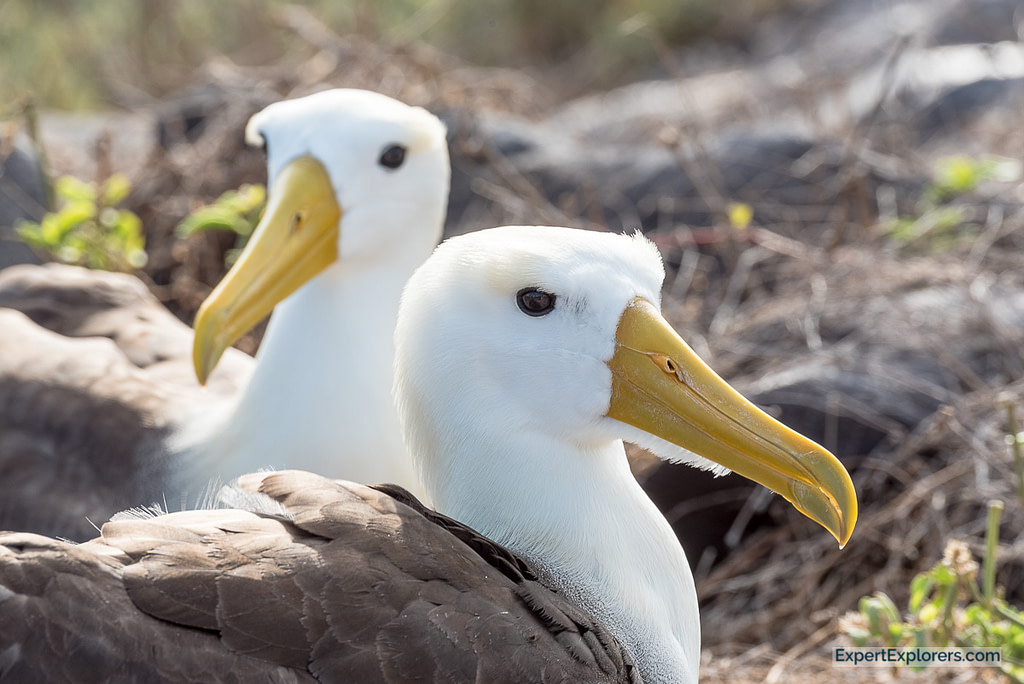 Mating pair of Waved Albatross, Isla Española, Galapagos Islands