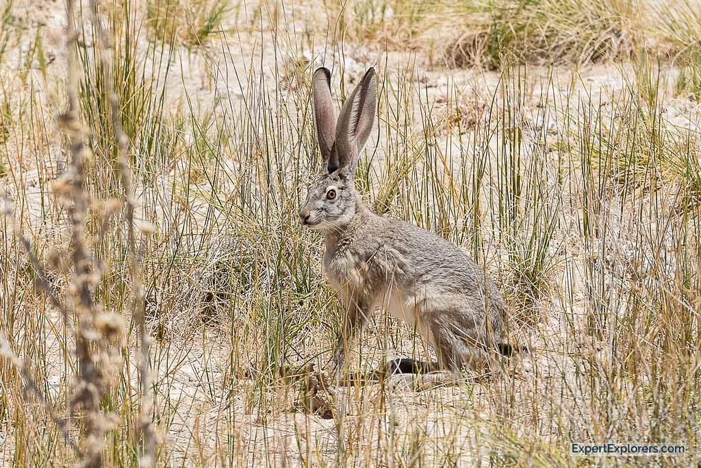 Blacktail Jackrabbit spotted at Ash Meadows National Wildlife Refuge, Nevada