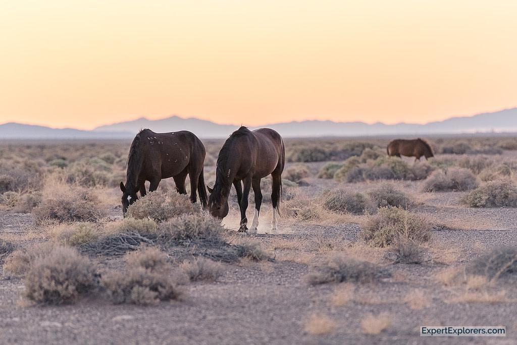 Wild Horses grazing in the Death Valley desert