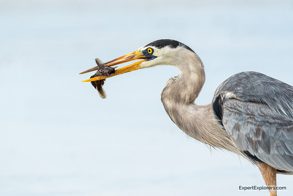 Great Blue Heron eating a fish, Galapagos Islands