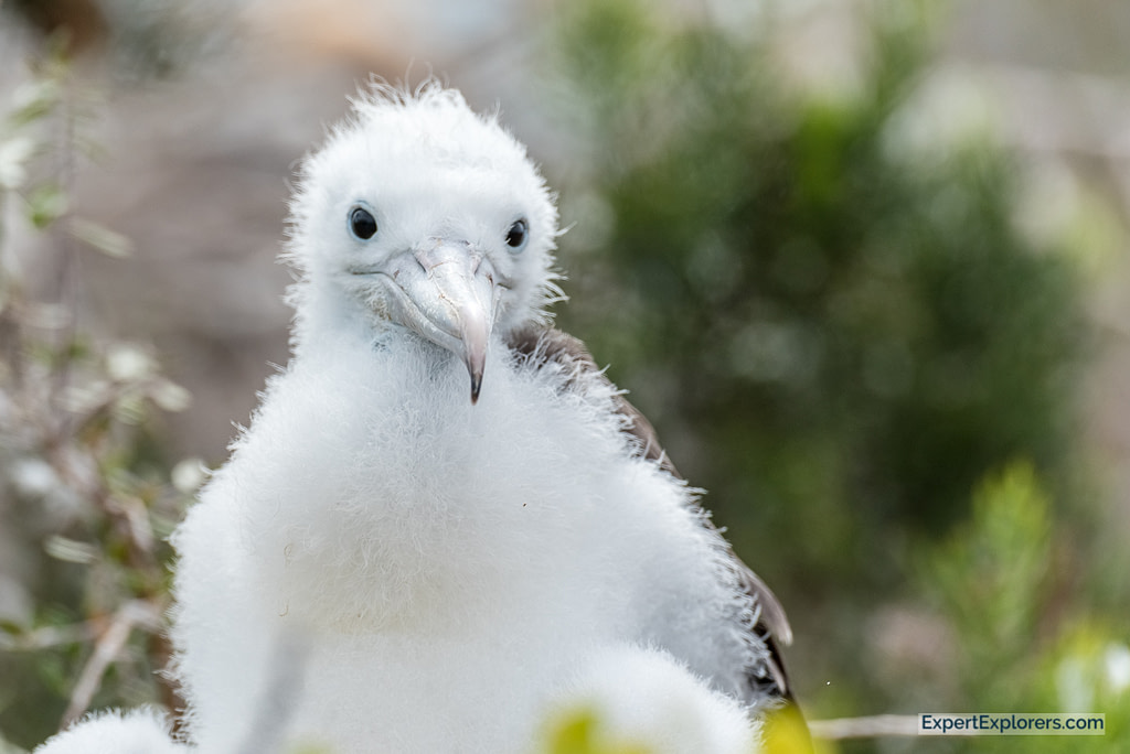Baby Frigate bird, North Seymour, Galapagos Islands
