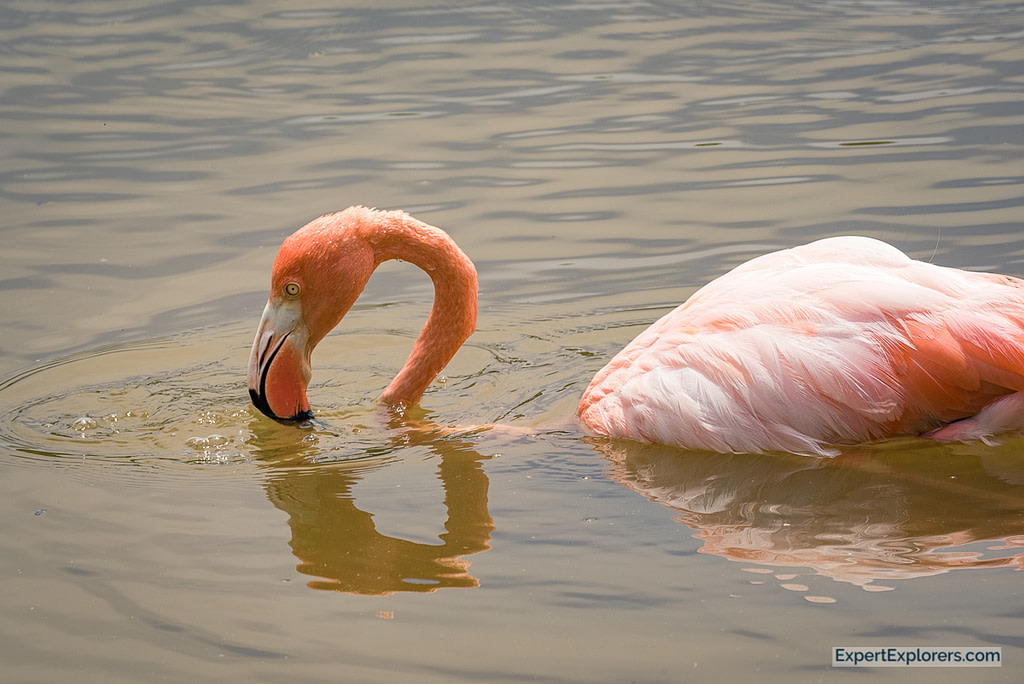 Flamingo feeding, Isla Isabela, Galapagos Islands