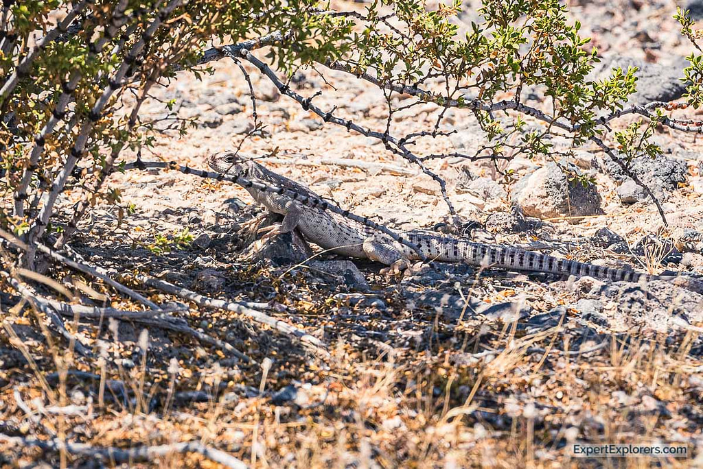 Desert Iguana spotted in Ash Meadows National Wildlife Refuge, Nevada