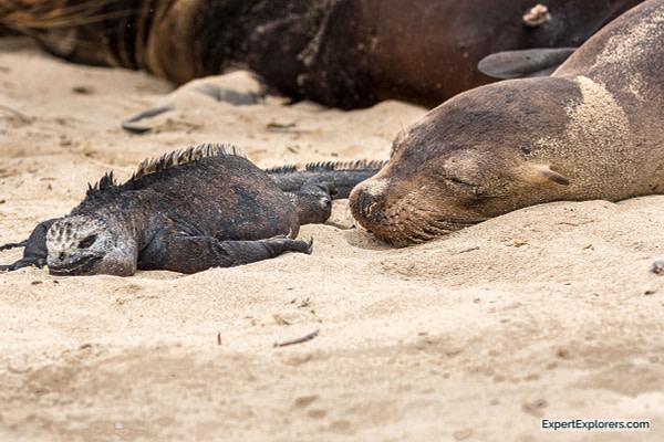Sea Lion and Iguana Sleeping on the beach, Galapagos Islands