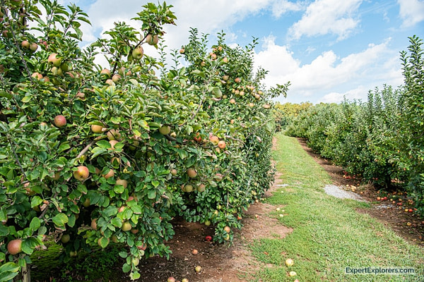 Apple orchard in Hendersonville, NC