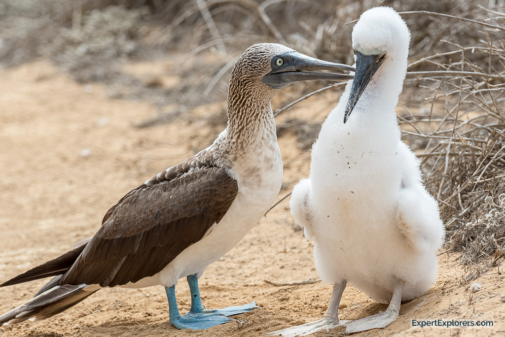 Blue Footed Booby with baby, Punta Pitt, Isla San Cristóbal, Galapagos Islands