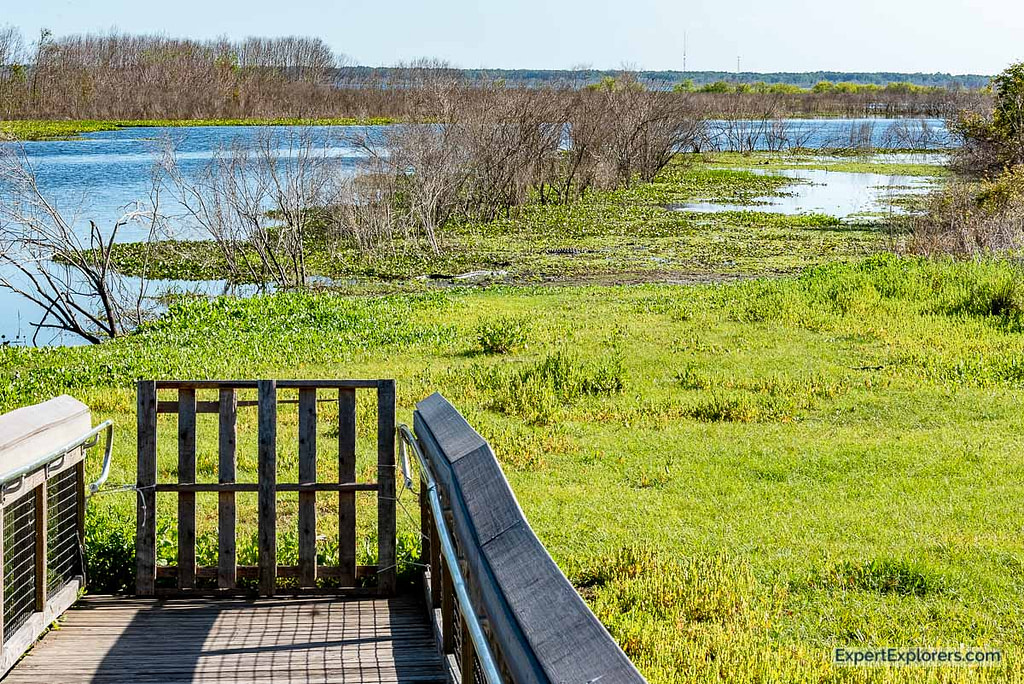 Paynes_Prairie end of Boardwalk two alligators can be seen in the flooded path