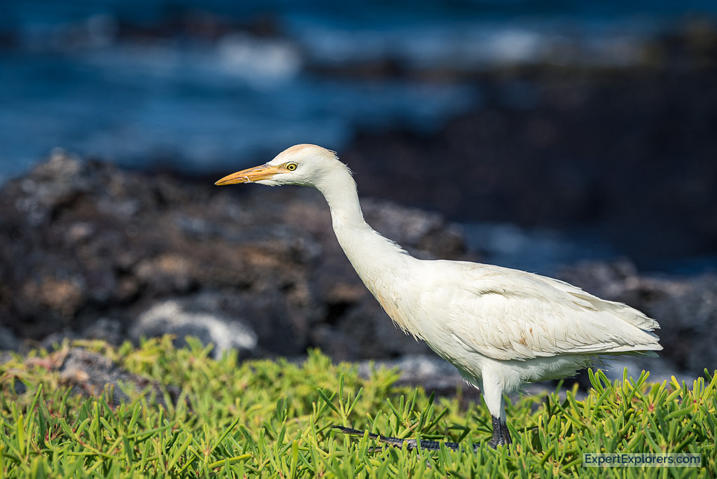 Galapagos Egret walking through shrubs