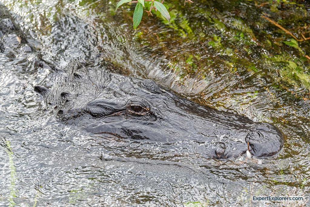 Very Large Adult Alligator laying in the stream in Sweetwater Wetlands