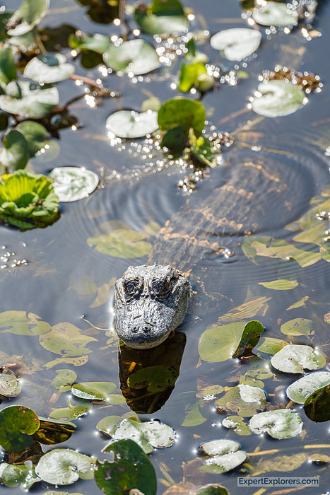 Baby Alligator as seen from the Boardwalk at Paynes Prairie Florida