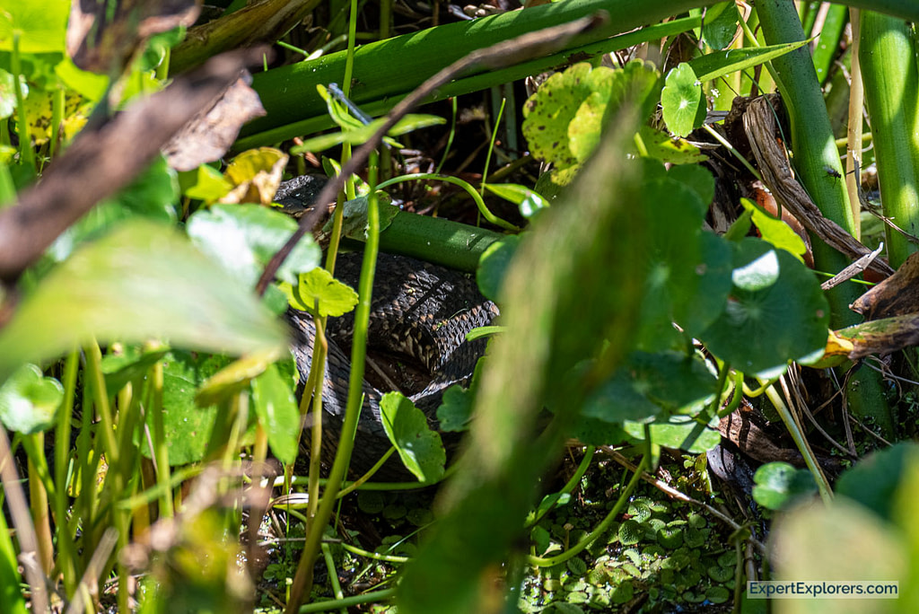 Snake hiding in the reeds at Paynes Prairie La Chua Trail