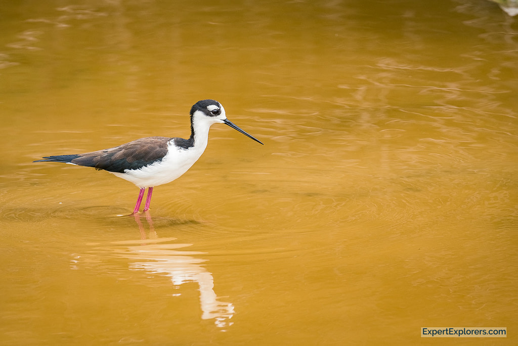 Black-Neck Stilt Bird wading through water, Isla Isabela, Galapagos Islands