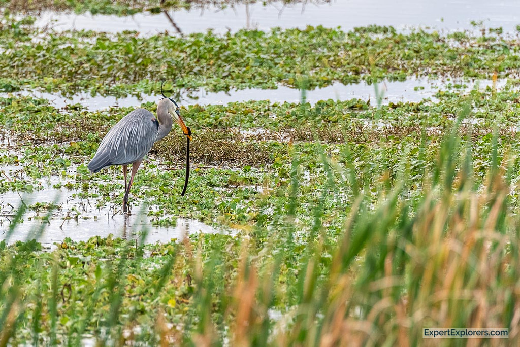 Sweetwater Wetlands Great Blue Heron Eating Snake