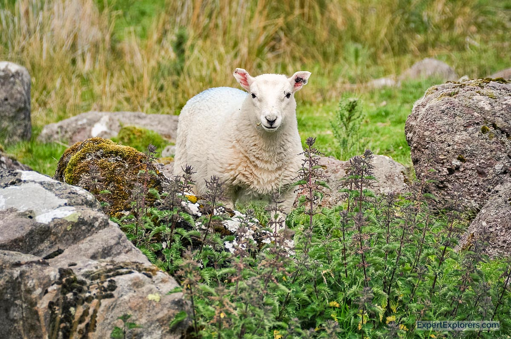 Baby sheep, Brecon Beacons National Park, Wales