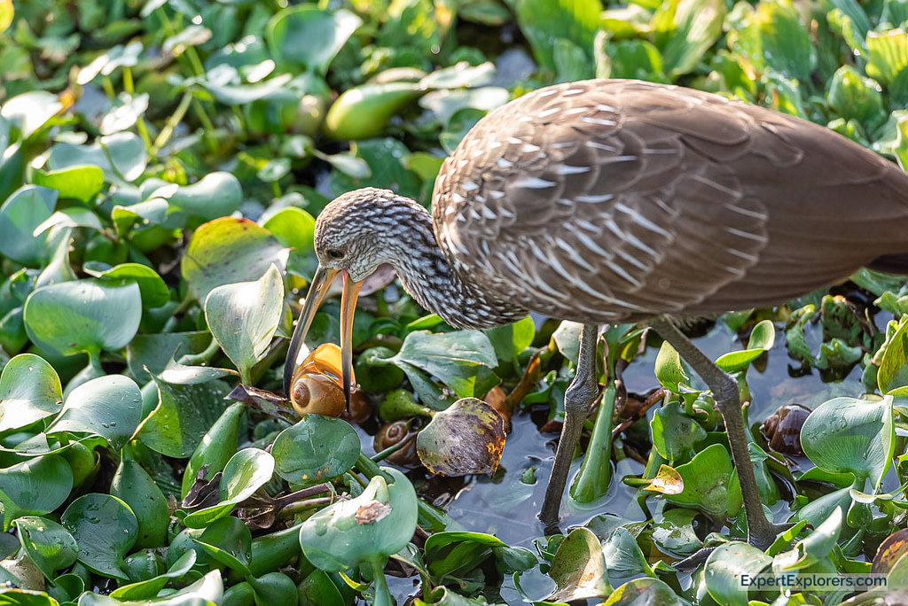 Limpkin in Paynes Prairie eating a snail