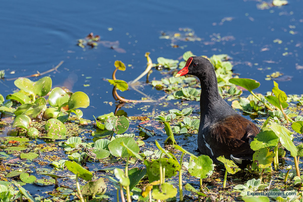 Paynes Prairie Florida Common Moorhen
