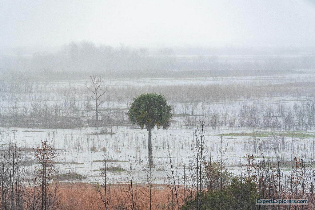 Paynes Prairie Palm Tree in the rain