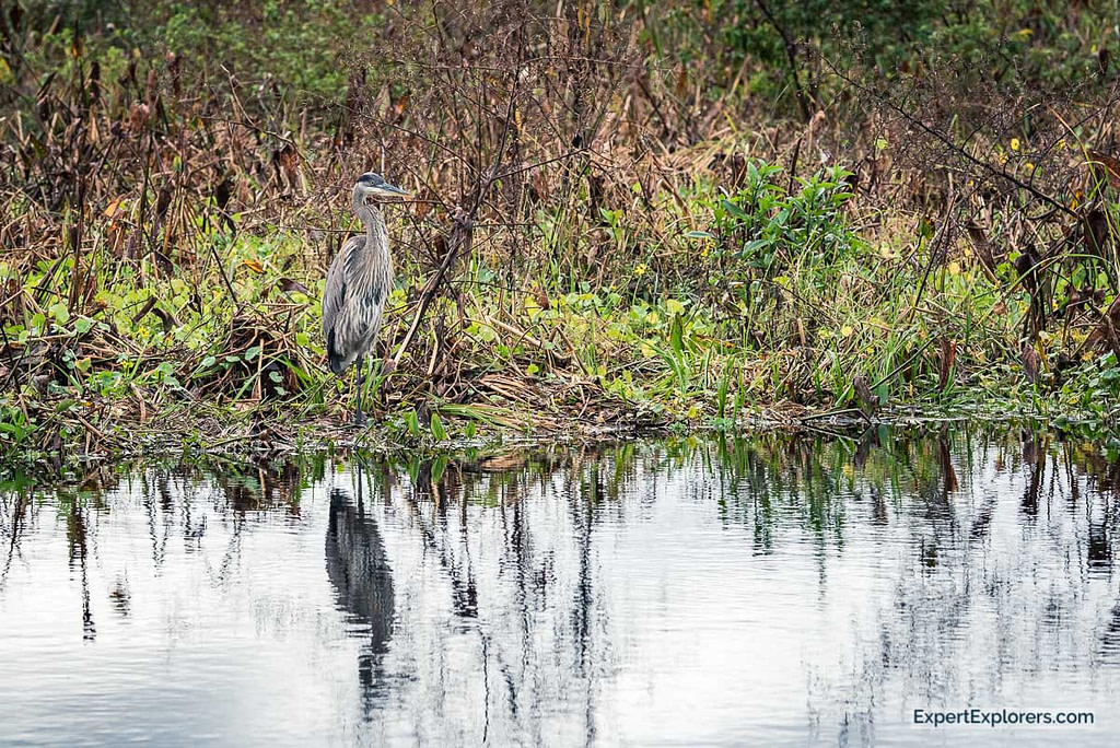 Blue Heron seen from the Observation Platform at Paynes Prairie
