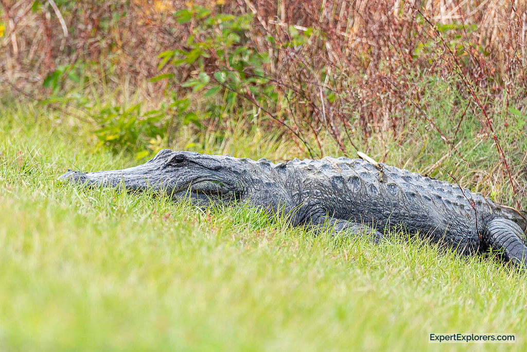 Very Large Adult Alligator laying up on the bank in Sweetwater Wetlands